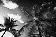 Coconut Palm Tree Posters - Coconut Palm Trees  Fort Lauderdale Beach Florida Usa Poster by Joe Fox