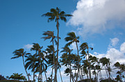 Tropical Photographs Metal Prints - Coconut Palms - Oahu Hawaii Metal Print by Brian Harig