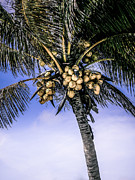 Costa Framed Prints - Coconut Tree Framed Print by Julie Palencia