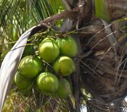 Coconuts Proliferate Print by Michelle Wiarda