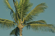 Palm Trees Fronds Prints - Cocos nucifera - Niu - Palma - Poolenalena Beach Maui Hawaii Print by Sharon Mau