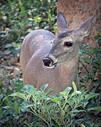 Elaine Malott - Coes Deer Doe