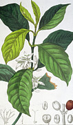 Green Beans Drawings Prints - Coffea Arabica Print by Pancrace Bessa
