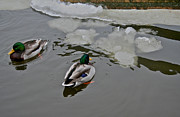 Mallards Photos - Cold Ducks by Odd Jeppesen