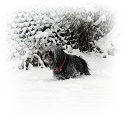 Snow Dog Posters - Cold feet Poster by Sharon Lisa Clarke