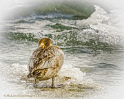 LeeAnn McLaneGoetz McLaneGoetzStudioLLCcom - Cold Female Canvasback Ducks