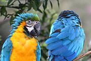Macaw Photos - Cold Shoulder by James Brunker