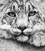 Snow Leopard Framed Prints - Cold Stare - drawing Framed Print by Natasha Denger