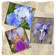 Parchment Framed Prints - Collage of Textured Iris Flowers Framed Print by Valerie Garner