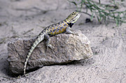 Tim Moore - Collard Lizard from the...
