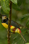 Natural Focal Point Photography Metal Prints - Collared Aracari Metal Print by Natural Focal Point Photography