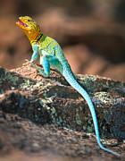 Refuge Prints - Collared Lizard Print by Inge Johnsson