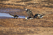 Swallow Photo Metal Prints - Collecting Mud Metal Print by Douglas Barnard