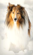 Collie  Print by Diana Angstadt