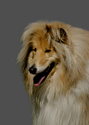 Doggy Cards Photos - Collie dog by Linsey Williams