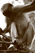 Mangrove Forest Metal Prints - Colobus Monkey Metal Print by Aidan Moran