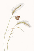 Elizabeth Romanini Drawings - Colon Checkerspot by Elizabeth Romanini
