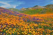 Ca Poppies Prints - Color Filled Hills - Fine Art by Lynn Bauer Print by Lynn Bauer