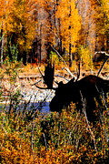 Bull Moose Posters - Color of Fall Poster by Kurtis Holtzen
