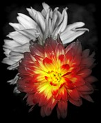 Dinner-plate Dahlia Prints - COLOR of LIFE Print by Karen Wiles