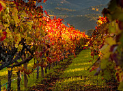 Wine Vineyard Photos - Color On the Vine by Bill Gallagher
