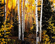 Aspen Grove Prints - Colorado Aspen Gold Print by Terril Heilman
