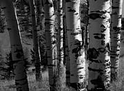 John Pagliuca - Colorado Aspen Grove II
