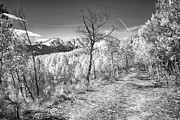 Snow Tree Prints Metal Prints - Colorado Backcountry Autumn View BW Metal Print by James Bo Insogna