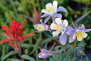 Eric Glaser - Colorado Blue Columbine