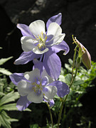 Robert Lozen Metal Prints - Colorado Blue Columbine Metal Print by Robert Lozen