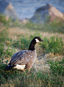 Marilyn Hunt - Colorado Canada Goose