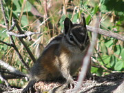 Chipmunk Photograph Posters - Colorado Chipmunk Poster by Steven Parker