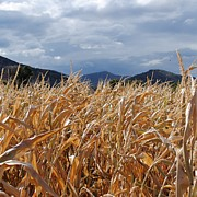 Cornfield Photos - Colorado Cornfield by Julie Federico
