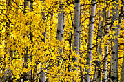 Colorado Mixed Media Prints - Colorado Fall Aspens 1 Print by Angelina Vick