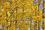 Colorado Mixed Media Prints - Colorado Fall Aspens 10 Print by Angelina Vick