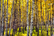 Colorado Mixed Media Prints - Colorado Fall Aspens 3 Print by Angelina Vick