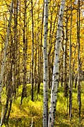 Outside Mixed Media Framed Prints - Colorado Fall Aspens 4 Framed Print by Angelina Vick