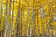 Colorado Mixed Media Prints - Colorado Fall Aspens 5 Print by Angelina Vick