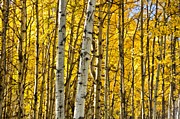 Colorado Mixed Media Prints - Colorado Fall Aspens 7 Print by Angelina Vick