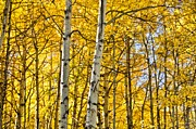 Colorado Mixed Media Prints - Colorado Fall Aspens 8 Print by Angelina Vick