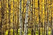 Colorado Mixed Media Prints - Colorado Fall Aspens 9 Print by Angelina Vick