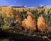 Colorado Aspen Prints - Colorado Fall Color Print by Allen W Sanders