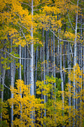 Colorado Fall Color Print by Inge Johnsson