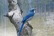 Scrub Jay Posters - Colorado Forest Scrub Jay Poster by R christopher Vest