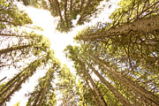 Colorado Rocky Mountain Forest Ceiling Print by James BO  Insogna