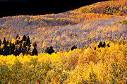 The Forests Edge Photography - Diane Sandoval - Colorful Aspen Mixture