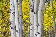 James BO  Insogna - Colorful Autumn Aspen Tree Colonies