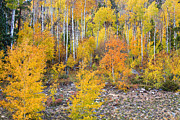 Autumn Landscape Metal Prints - Colorful Autumn Forest In The Canyon of Cottonwood Pass Metal Print by James Bo Insogna