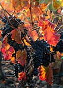 Grape Leaves Prints - Colorful Autumn Grapes Print by Carol Groenen