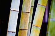 Skinny Framed Prints - Colorful Bamboo Framed Print by Bill Brennan - Printscapes